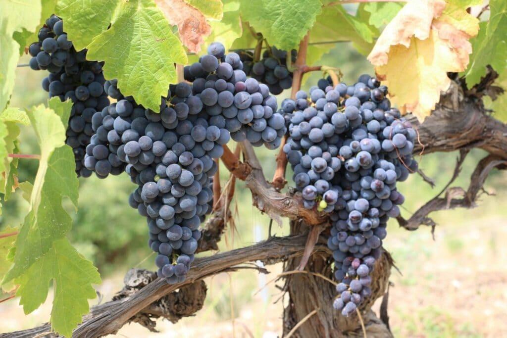日本ワインが作られる品種のブドウ苗を探してしてみる